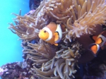 amphiprion ocellaris 2